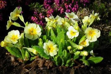 Клематисы: цветение, лучшие сорта для средней полосы 1, 2 и 3 группы обрезки