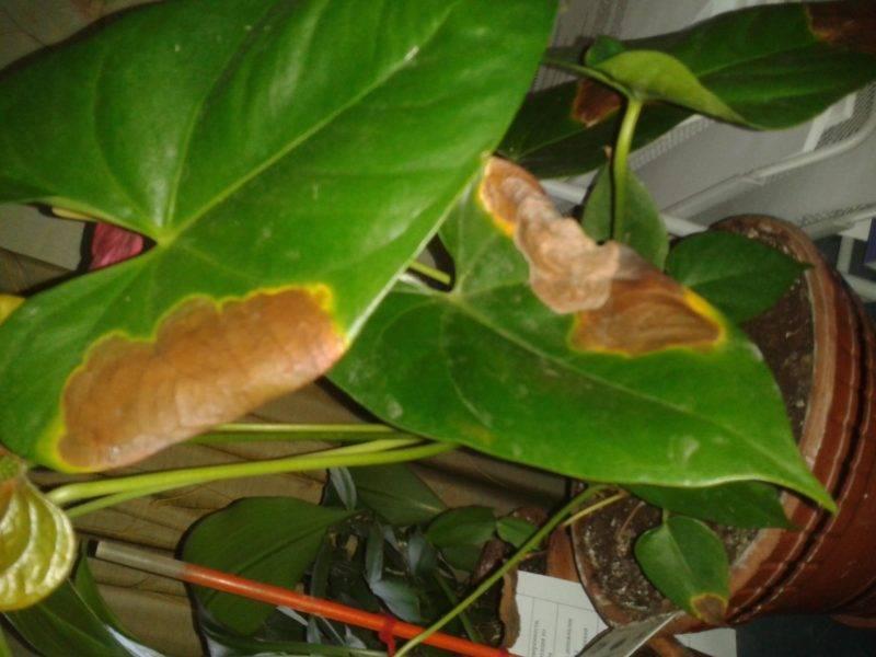 Комнатный цветок антуриум: болезни