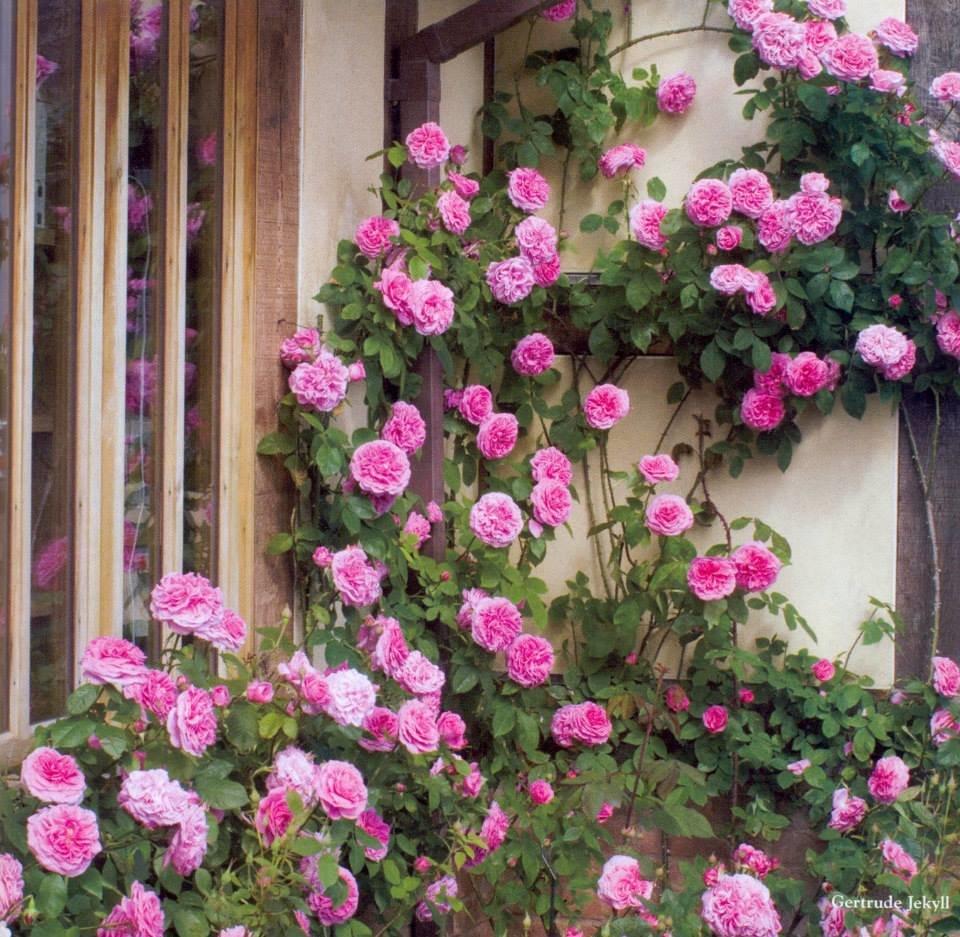 Плетистая роза: подготовка к посадке и уход