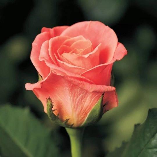 Описание многолетней розы сорта нина вейбул: выращивание кустарника, как посадить