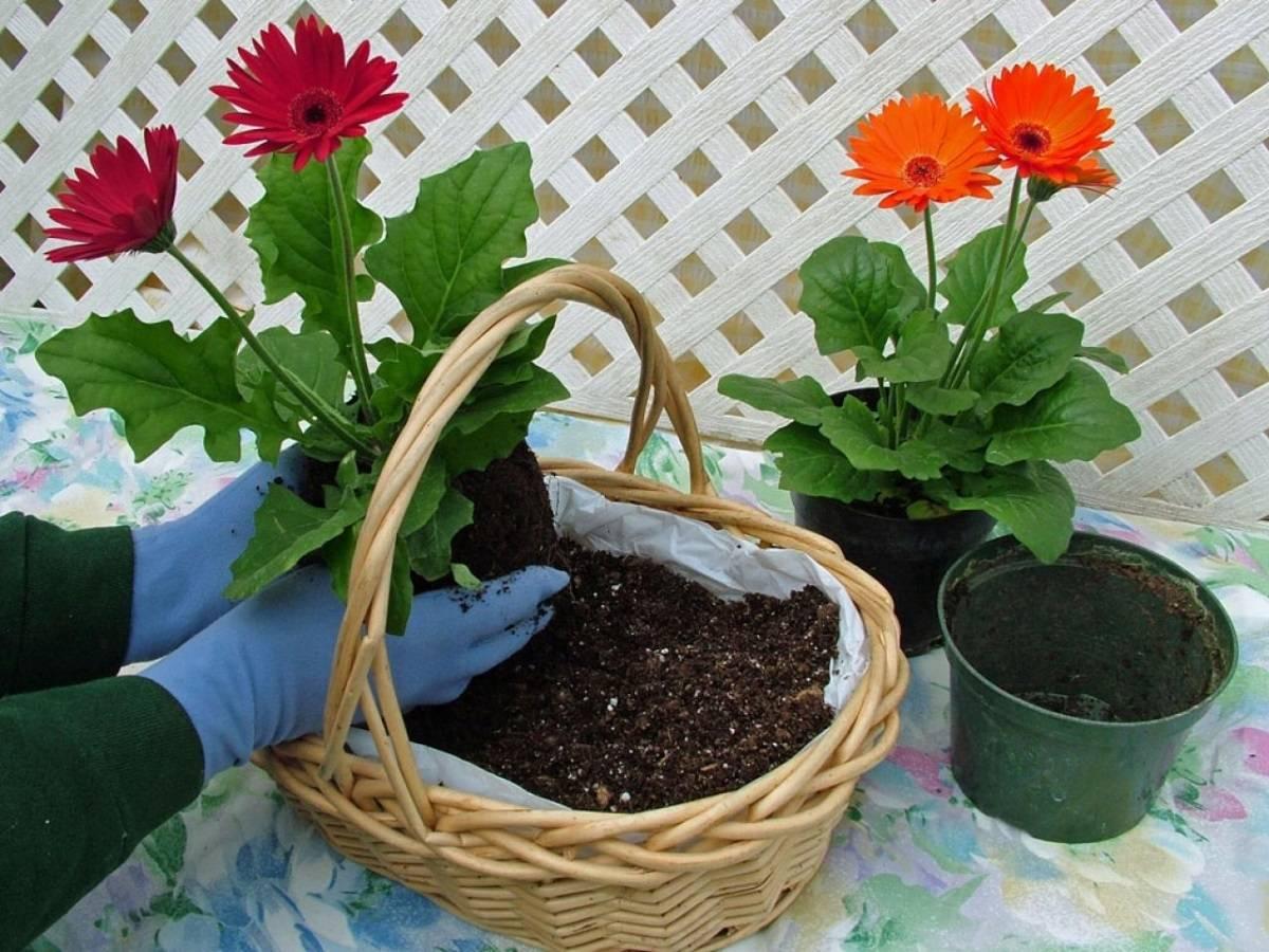 Гербера садовая: посадка и уход в открытом грунте на даче, а также как хранить подольше в вазе