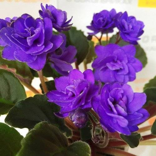 Описание травянистого молочноцветкового пиона сорта корал шарм (чарм)