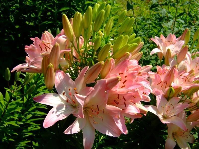 Восточная лилия (45 фото): сорта с названиями, отличия от азиатской, восточные махровые и другие гибриды, посадка и уход