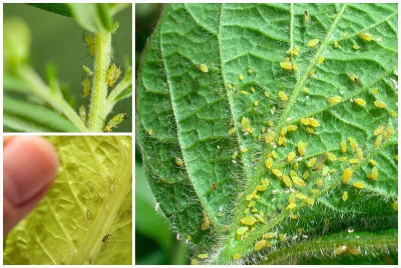 Заметка цветоводу: как бороться с белокрылкой на комнатных растениях