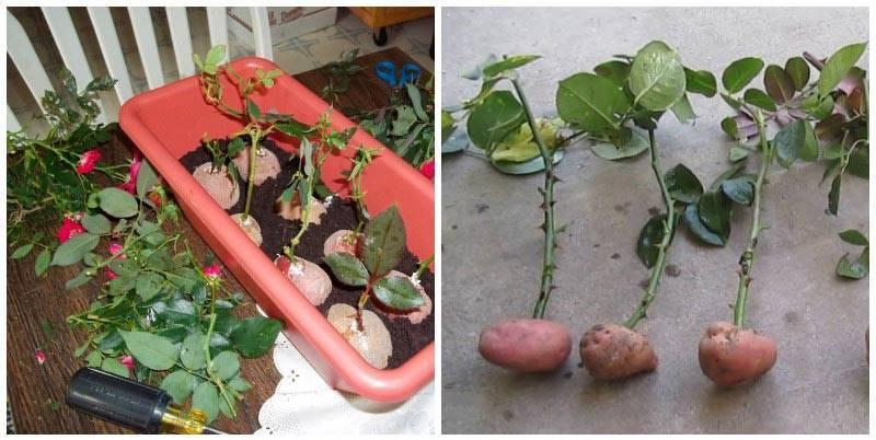 Укоренение роз из букета и выращивание черенков в домашних условиях
