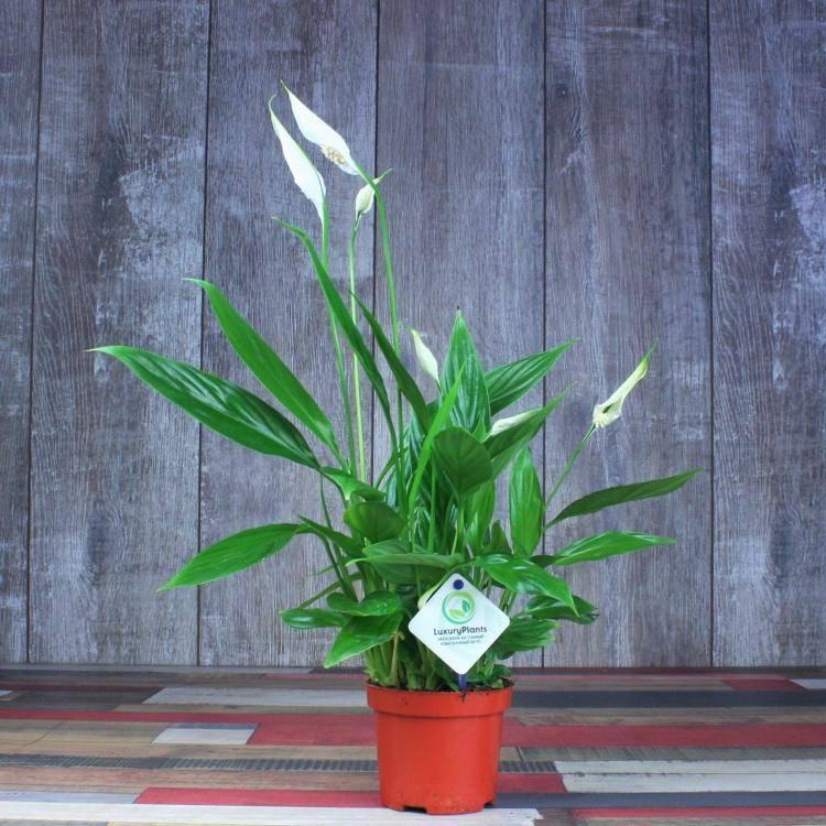 Спатифиллум шопен: как ухаживать за цветком?