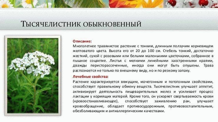 Свойства вербены: лечебные и полезные, противопоказания настойки травы, применение для волос