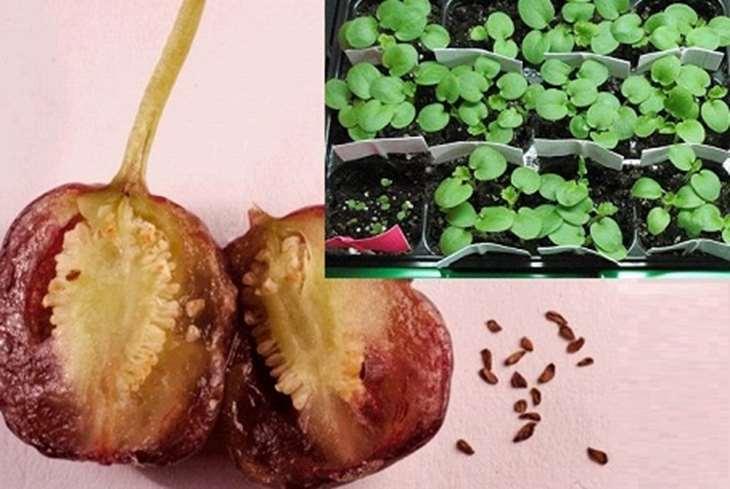 Как вырастить фуксию из семян в домашних условиях