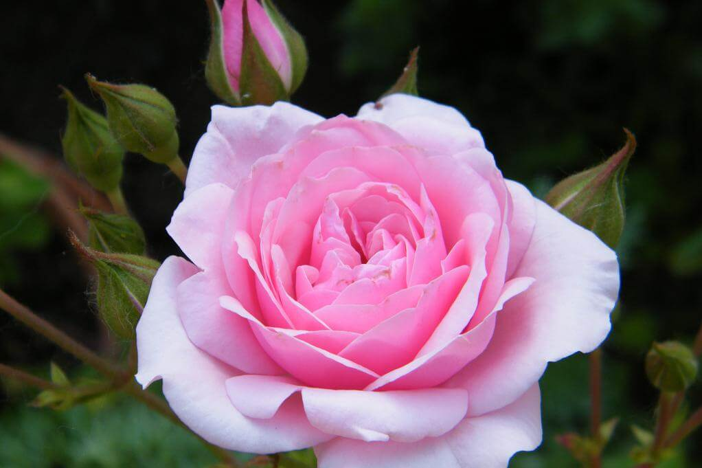 Роза анжелика: фото и описание, подкормка, обрезка, полив