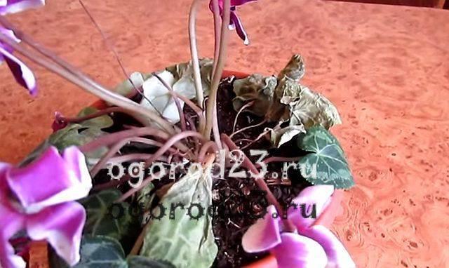 Цикламен отцвел: что делать дальше, как правильно ухаживать, когда происходит цветение и сколько длится, содержание в период покоя в домашних условиях
