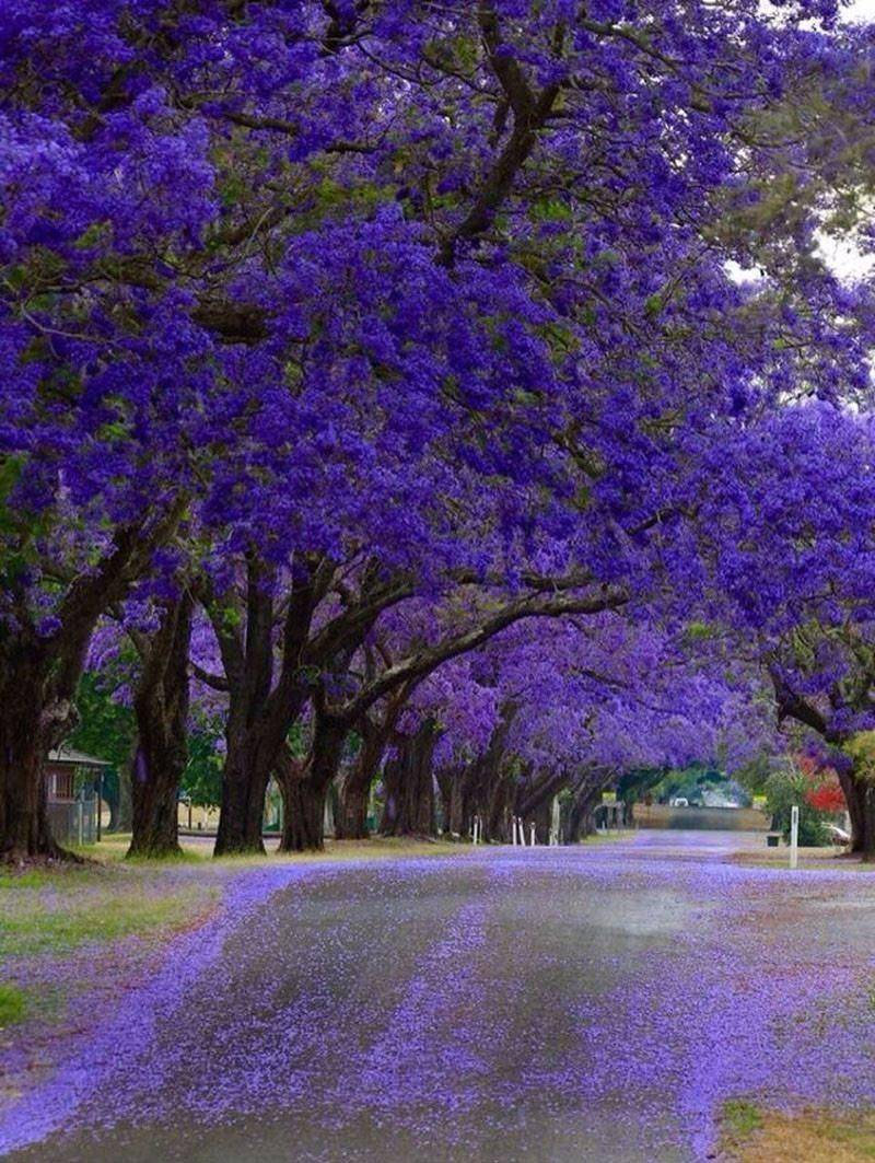 Жакаранда — дерево с фиолетовыми цветами - pocvetam.ru