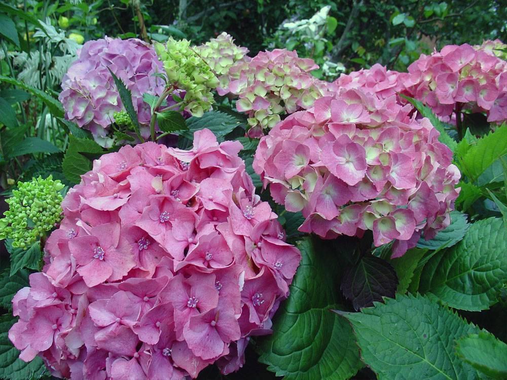 Почему не цветет гортензия садовая: главные причины