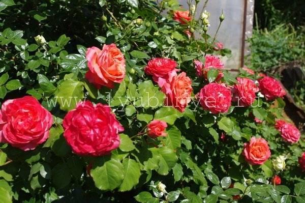 Какие розы самые неприхотливые и зимостойкие: 3 главных типа и советы по борьбе с вредителями