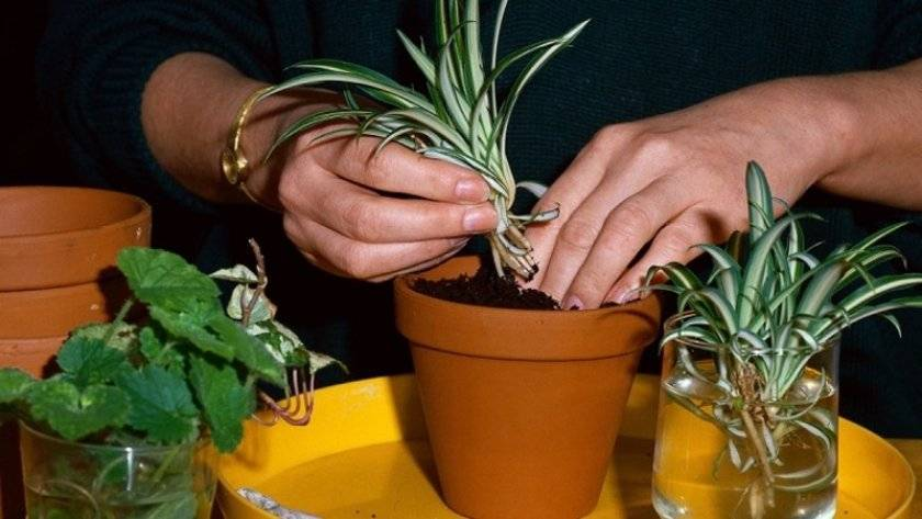 Традесканция рео — уход за цветком в домашних условиях и виды ?