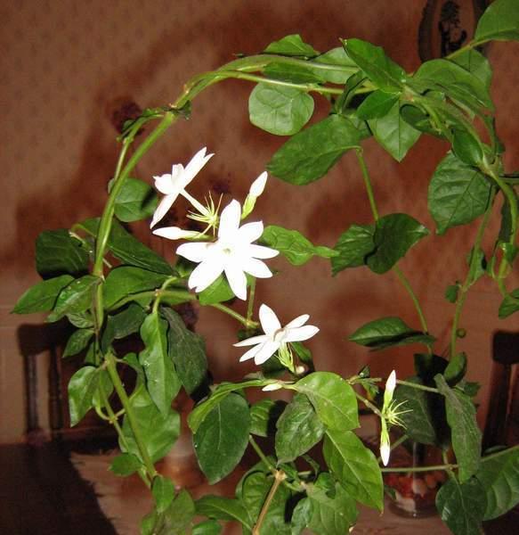 Жасмин комнатный: описание, особенности содержания и ухода за растением