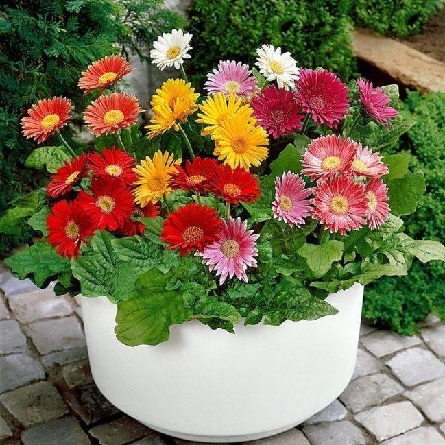 Гербера: фото комнатного цветка, как выглядят в горшке с красивыми листьями, как растут и что это за домашние растения?