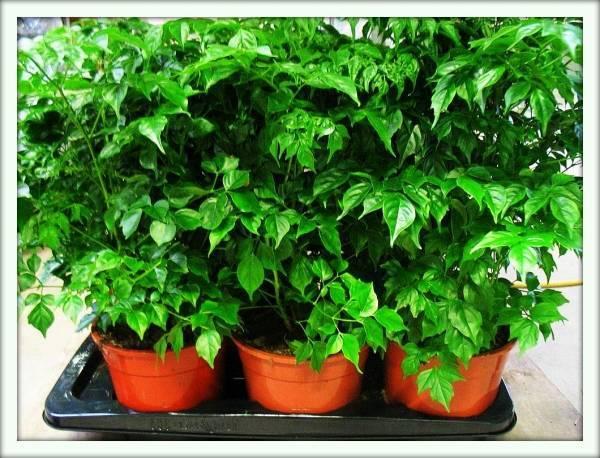 Радермахера: советы для цветовода по выращиванию растения