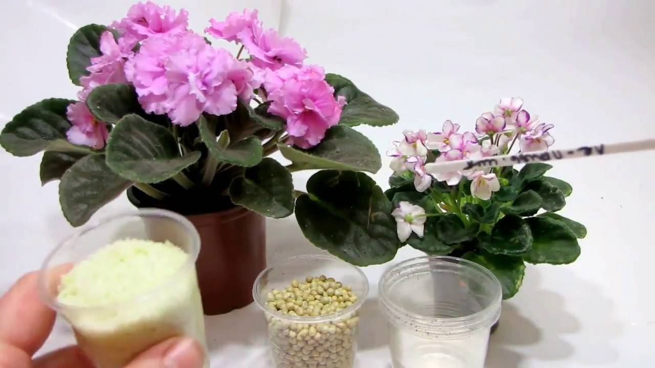 Чем подкормить фиалки: применение различных удобрений