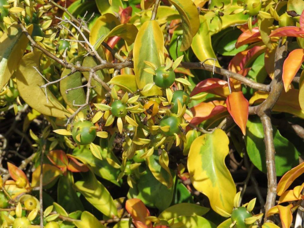 Переския: описание видов, уход и размножение - энциклопедия цветов