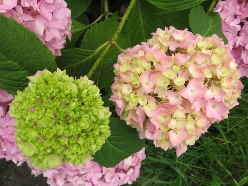 Особенности цветения лилейников. когда начинать подготовку. правила ухода