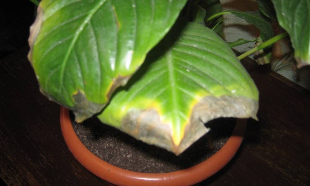 Почему у алоэ сохнут кончики листьев и по какой причине отмирают сухие нижние части растения, что делать, если цветок засыхает зимой?