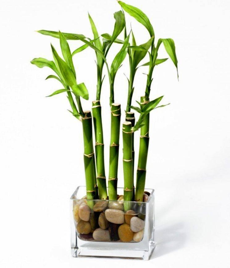 Комнатный бамбук — уход в домашних условиях