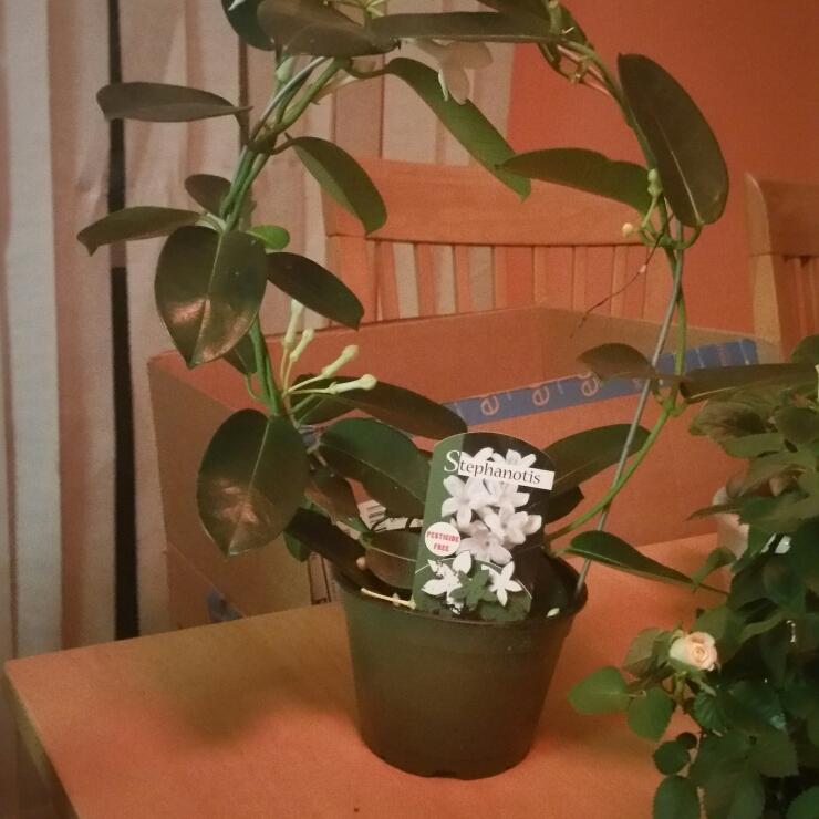 Растение стефанотис (флорибунда): уход в домашних условиях и болезни