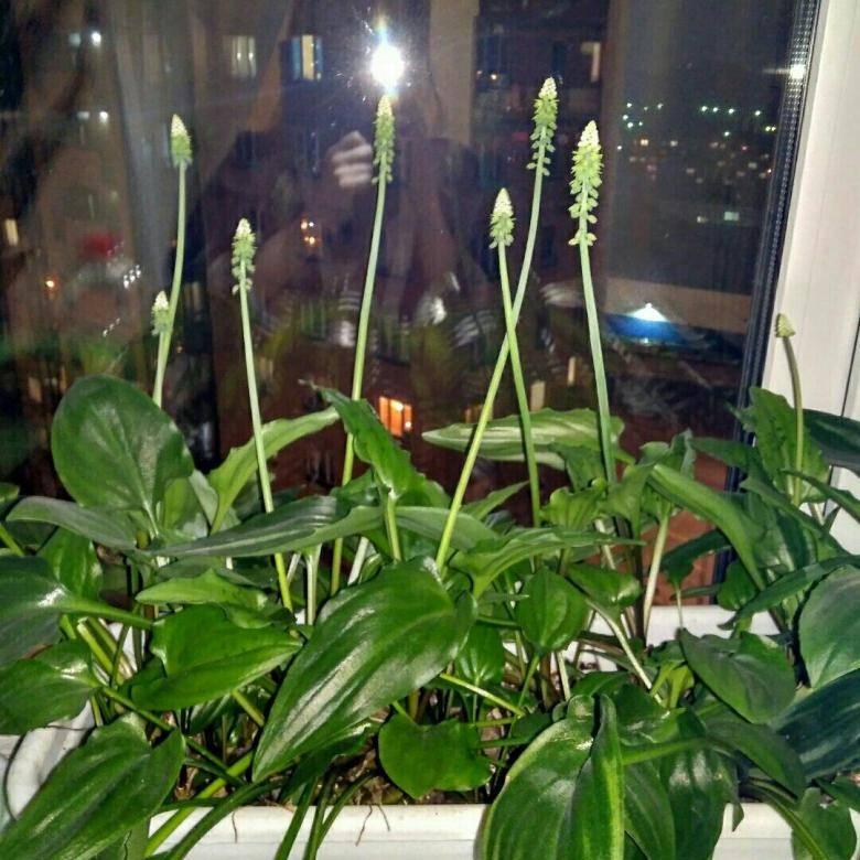 Дримиопсис — фото, видео и способы ухода в домашних условиях. выращивание декоративного растения своими руками (110 фото)