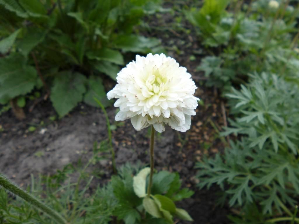 Цветы анемона: фото, посадка и уход за растением
