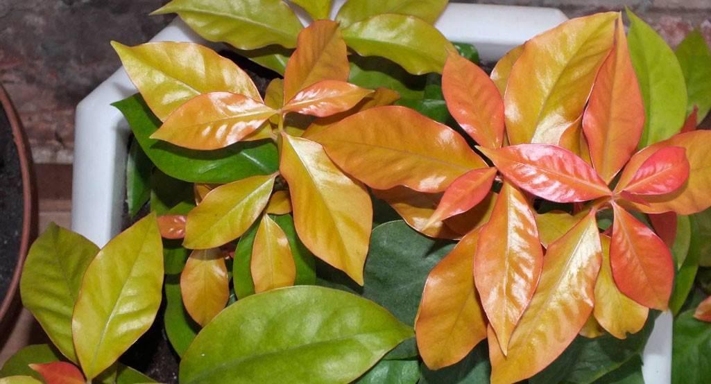 Кактус эхинопсис: примеры ухода за растением и его разновидности