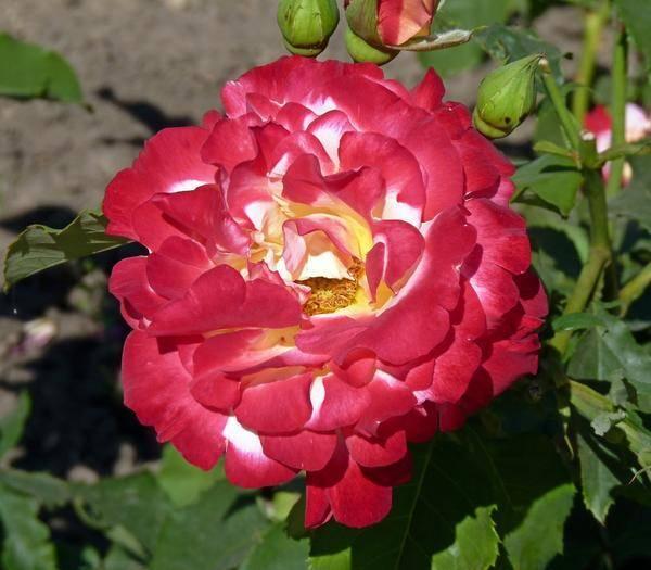 Роза дабл делайт (double delight) — выращивание декоративного кустарника