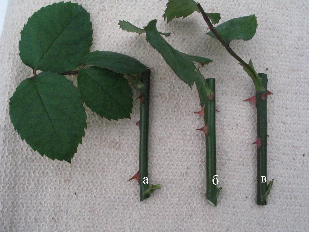 Как размножить черенками розы осенью в домашних условиях