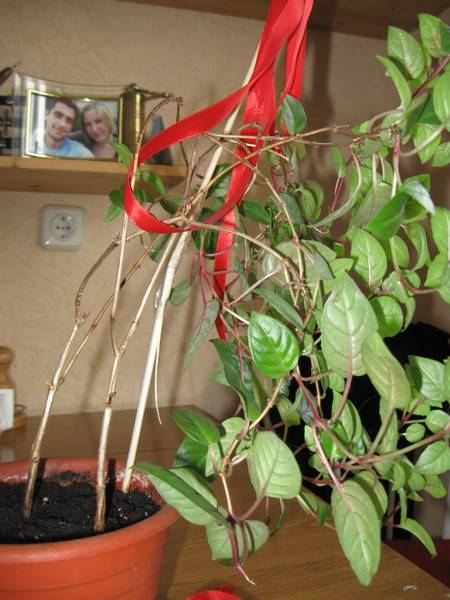 Почему не цветет фуксия, чем подкормить фуксию для обильного цветения