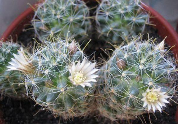 Неприхотливый кактус — маммиллярия удлиненная. описание и основы агротехники