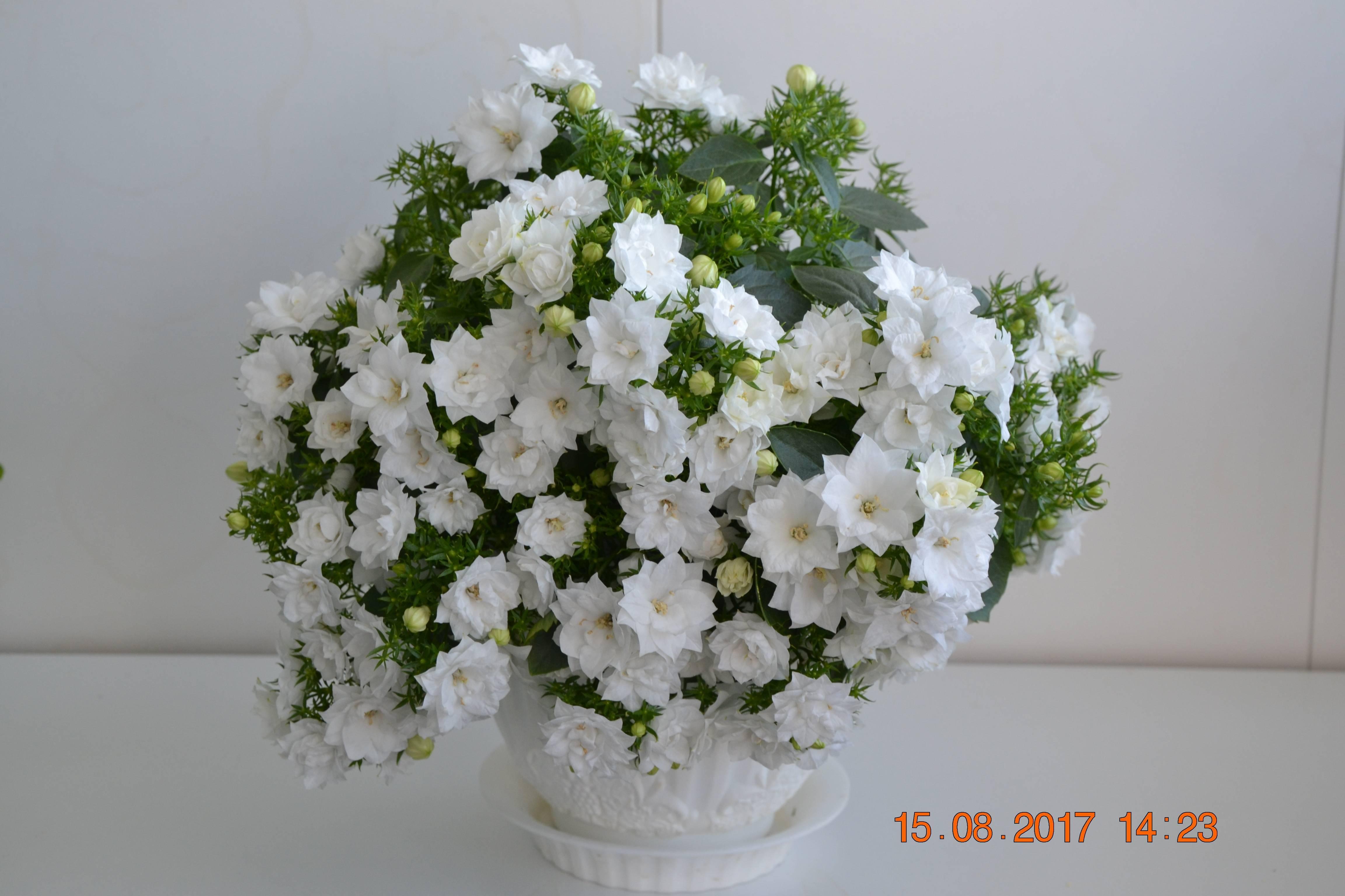 Комнатный цветок кампанула: уход и размножение