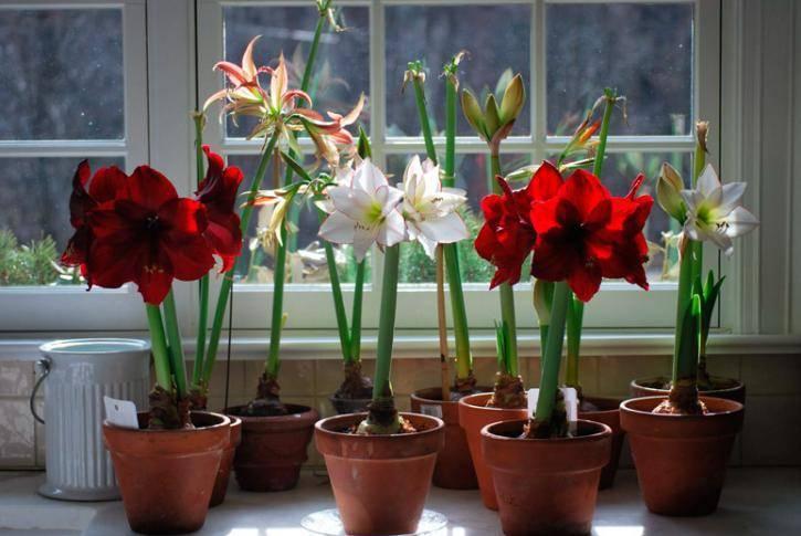 Гиппеаструм: все нюансы ухода за цветком в домашних условиях + фото и видео