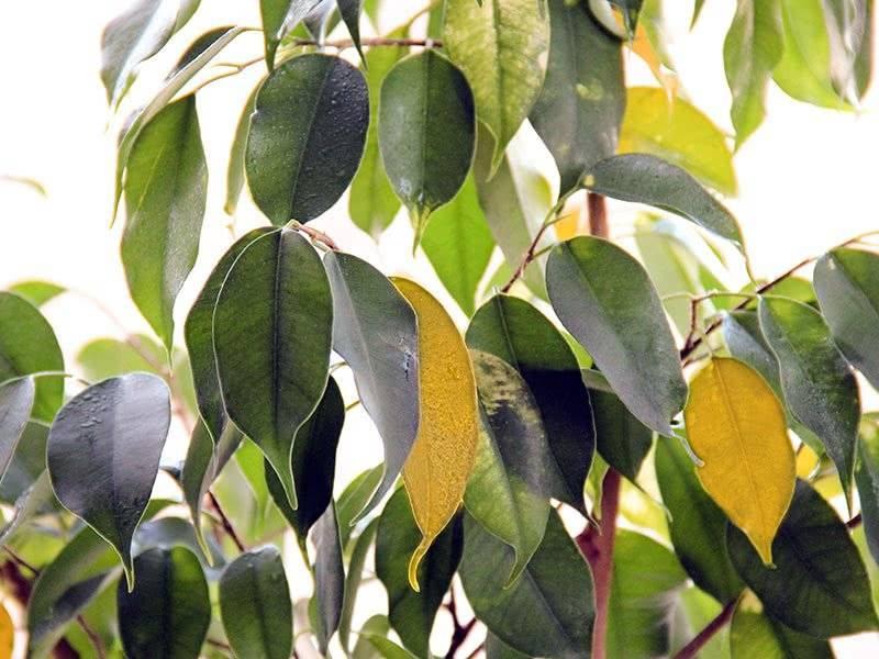 Почему фикус сбрасывает листья и как лечить растение