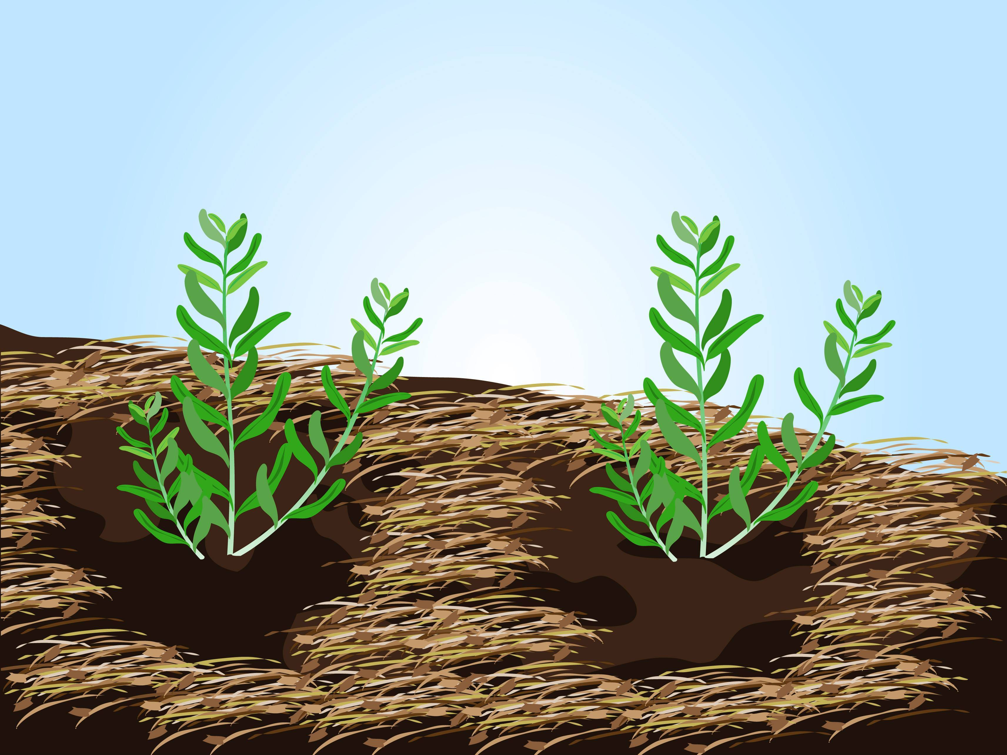 Лаванда в открытом грунте – посадка, уход, размножение