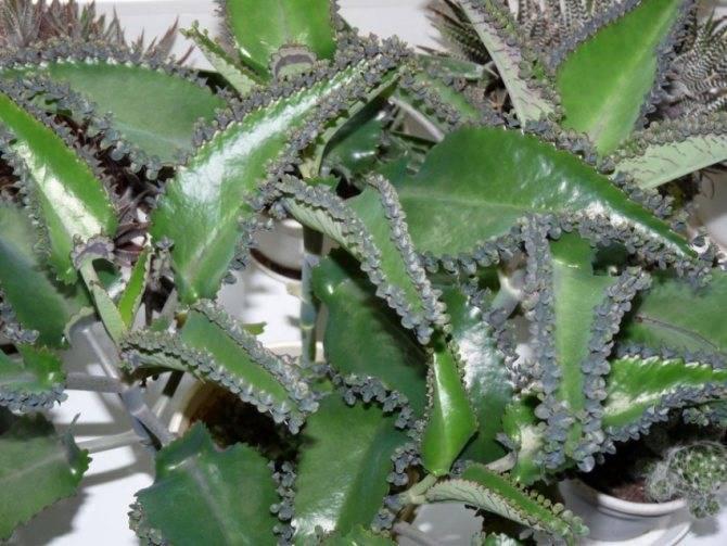 Живородящий каланхоэ дегремона -  самый полезный и неприхотливый вид