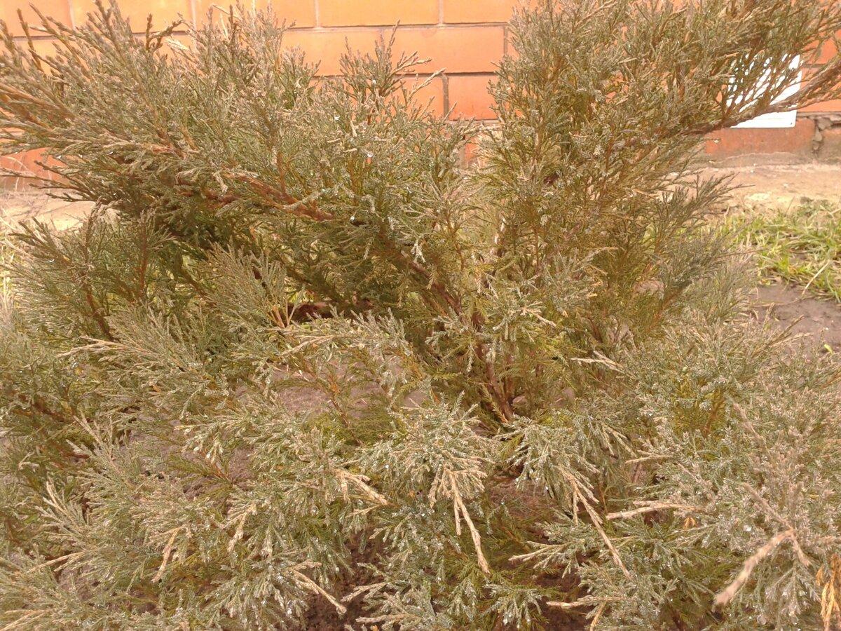 Размножение черенками кустарников