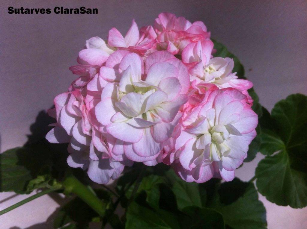 О пеларгонии sutarves klara san (сутарве клара сан): характеристики сорта, уход