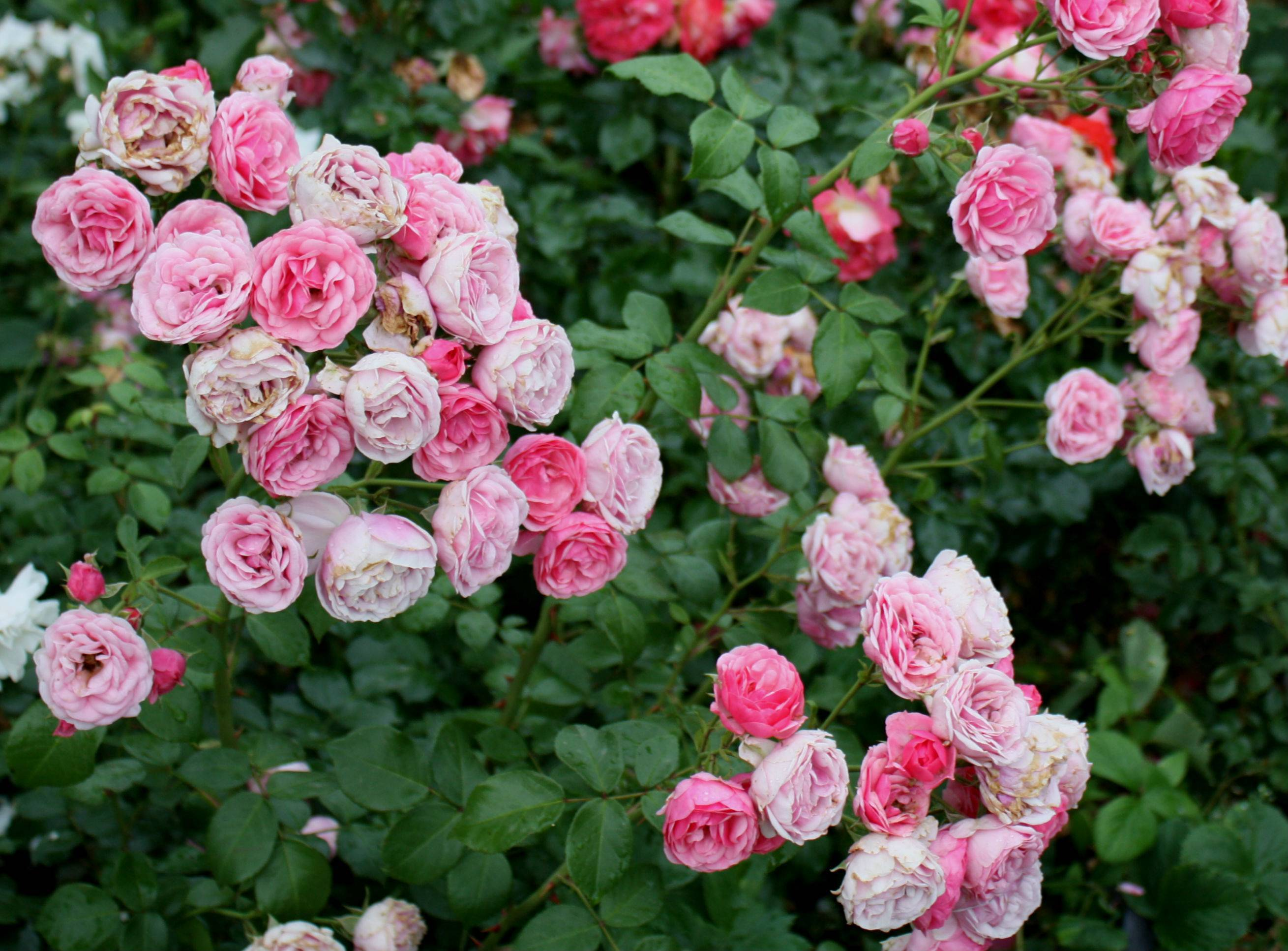 Роза Помпонелла (Pomponella) — характеристики сортового кустарника