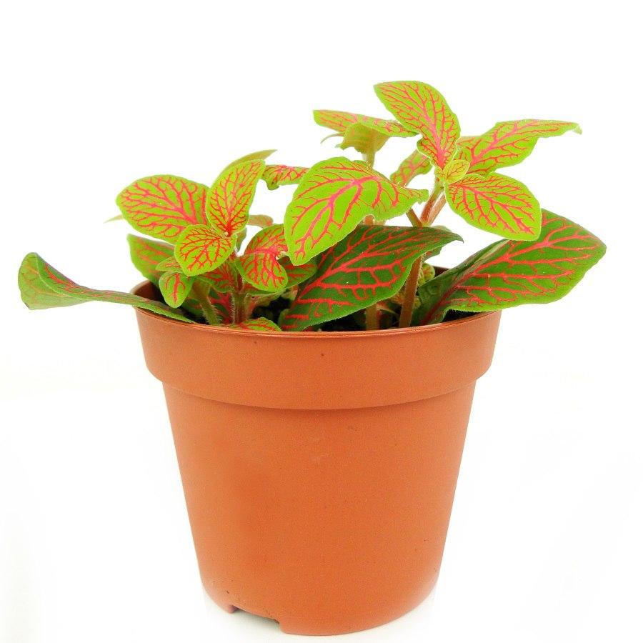 Фиттония (46 фото): уход за цветком в домашних условиях, виды фиттония «джосан» и «скелетон», красная и белая, цветение и размножение растения