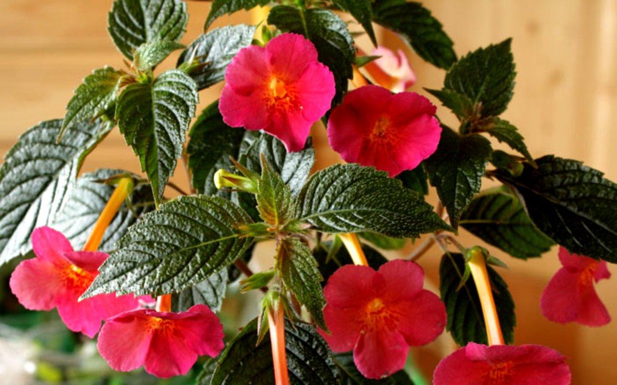 Выращивание и уход за ахименесами в домашних условиях и открытом грунте