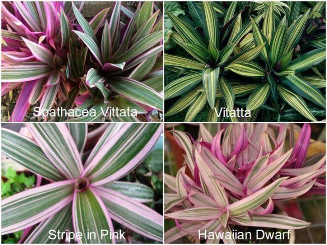 Рео пестрое, тропическое растение в домашнем саду