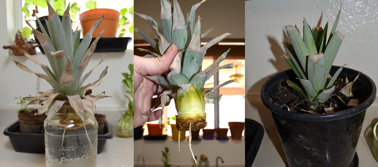 Как вырастить ананас в домашних условиях: нюансы выращивания