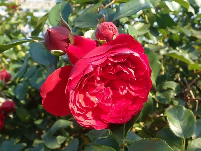 Характеристики плетистой розы сорта флорентина: особенности цветения растения