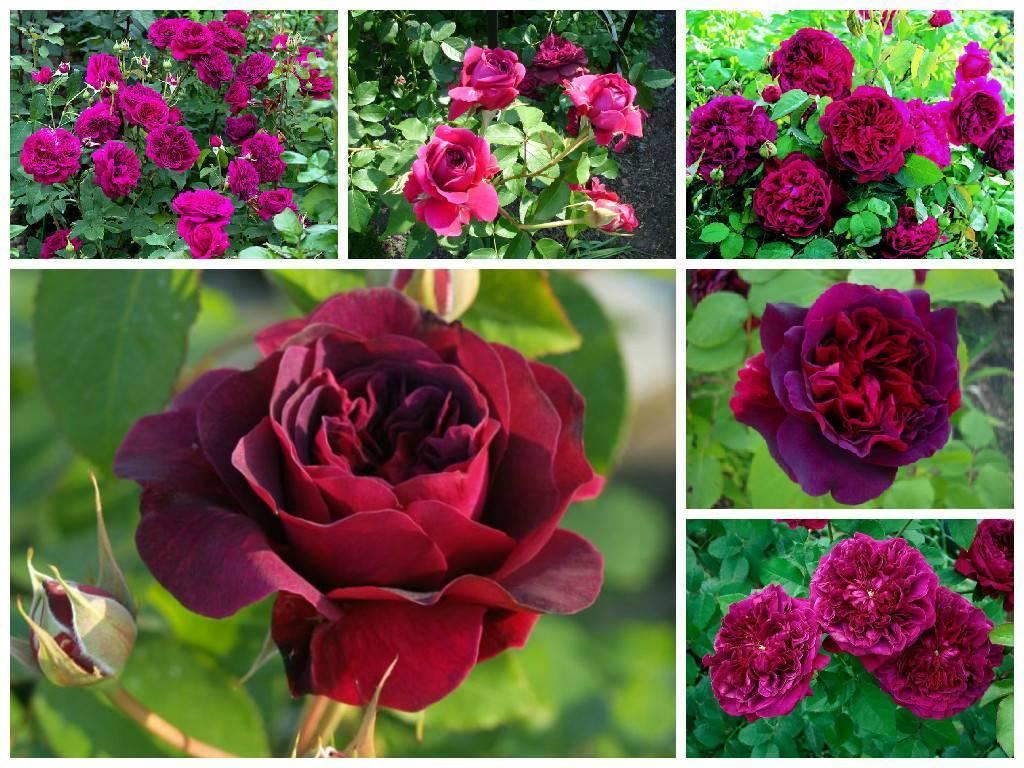 Описание сорта роз эксплорер