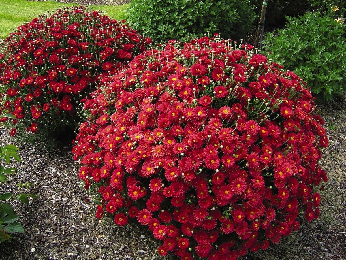 Описание и правила ухода за хризантемой сорта «бакарди»