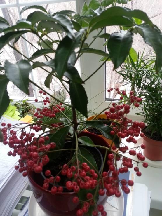 Ардизия городчатая - выращивание и уход в домашних условиях, болезни и вредители